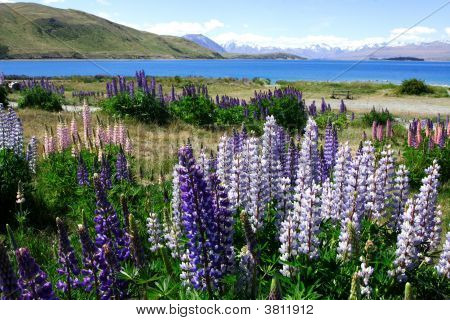 Lavenders By Lake Tekapo