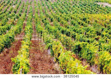 Wineyard In Crimea Mountains