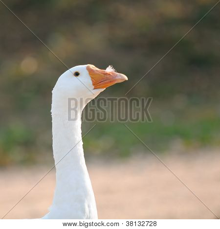 White Domestic Goose With Feather In Its Nostril
