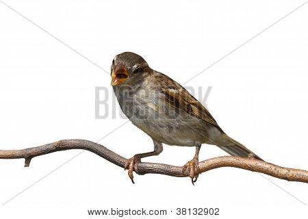 Chirping Sparrow