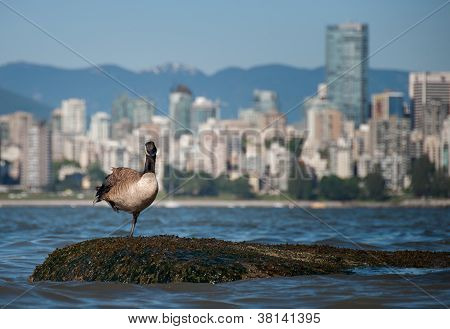 Canadian Goose Looking In Front Of Vancouver Skyline