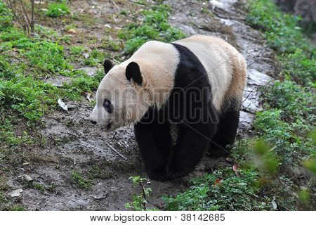 Giant panda bear on the walk