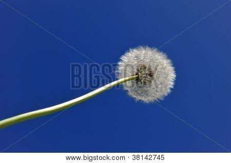 Dandelion In The Sky