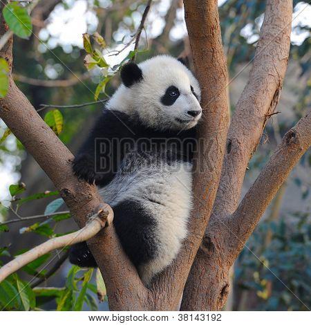 Giant panda bear in tree