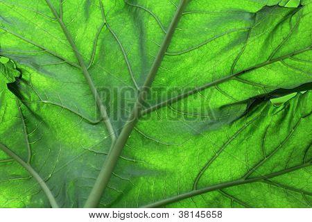 Bear's Breeches Leaf