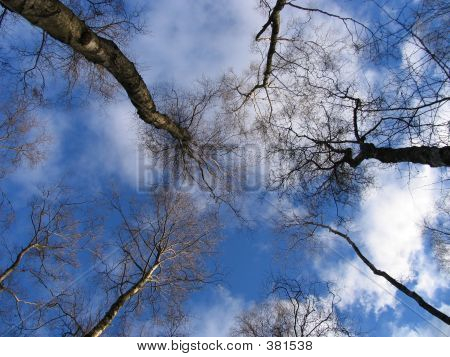 Looking Skyward Through The Trees
