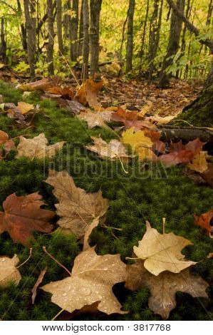Fall Color On Forest Floor