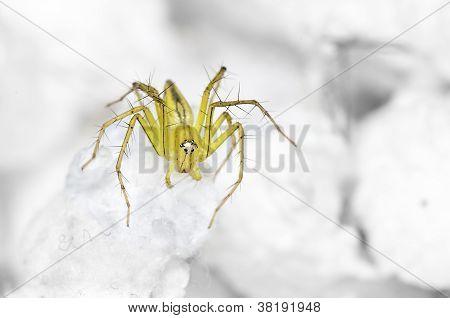 Lynx Spider On The Highest Swab