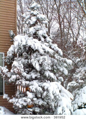 Evergreen Tree In Snow