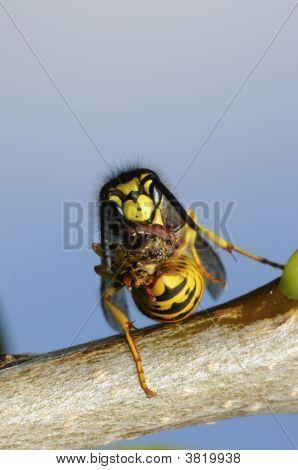 German Wasp Macro Closeup Portrait