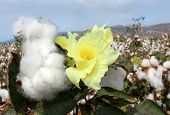stock photo of boll  - field of flowering and ripe for harvesting cotton - JPG