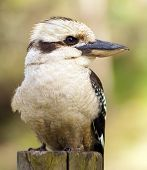 stock photo of blue winged kookaburra  - Kookaburra native Australian bird in the wild close up - JPG