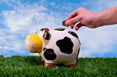 stock photo of cash cow  - Hand throwing a coin into a piggy bank of a cow esobre fresh green grass and a blue sky and coun silky clouds - JPG