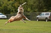 picture of frisbee  - A dog jumps stretches out and opens mouth wide to try and catch frisbee - JPG