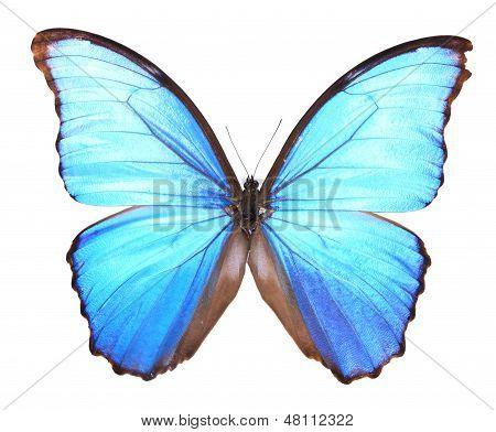 Morphidae: blue Butterfly