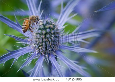 Bee on purple spiked flower