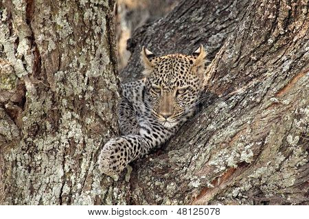 Leopard On A Tree