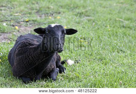 A black lamb rests