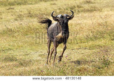 Blue Wildebeest Running
