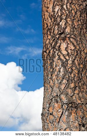 Pine Tree Bark With Sky