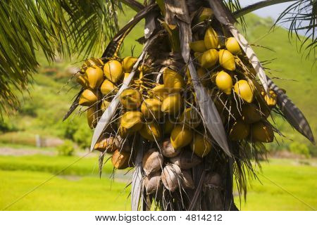 Palm Tree Filled With Coconuts