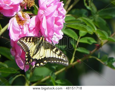 The butterfly on the garden roses