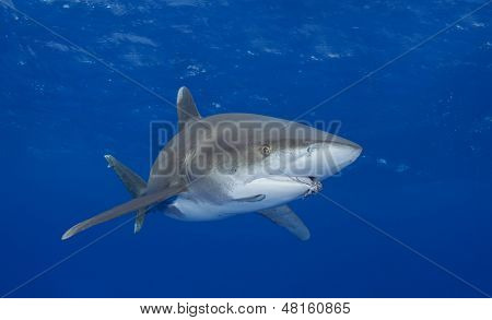 Oceanic Whitetip Shark with Fishing Hook