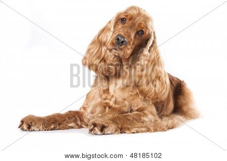 english cocker spaniel on white background, Cocker spaniel