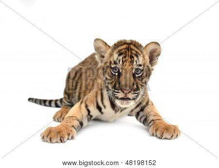 Tigre de Bengala de bebé