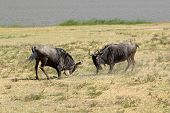Male Blue Wildebeests Fighting