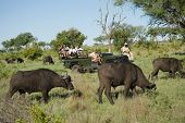 image of  jeep  - Herd of African buffaloes  - JPG
