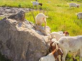 foto of headstrong  - A lot of Goats grazing in the green countryside - JPG