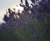pic of differential  - Beautiful differential focus technique giving shallow depth of field blurred bokeh sun effect in lavender landscape - JPG