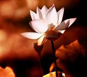 stock photo of tropical plants  - lotus flower blossom - JPG