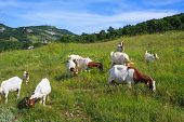 stock photo of headstrong  - Many Goats grazing in the green countryside - JPG