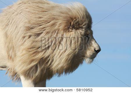 White Lion Prowl