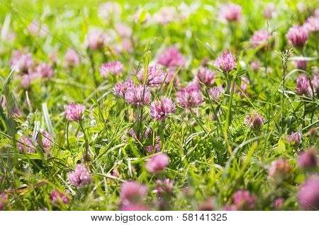 Red Clover Flowers On A Field In Summer