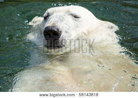 Polar Bear (ursus Maritimus) Swimming In The Water