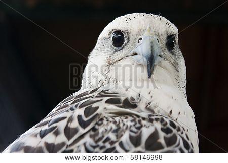 Grey falcon close up, Dubai, UAE