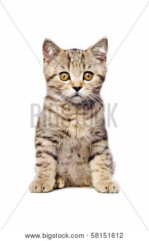 Scottish Straight  kitten sitting looking at camera