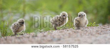 Three baby seagulls