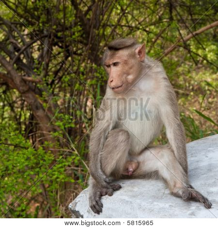Bonnet Macaque By The Roadside