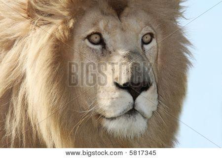 White Lion Up Close