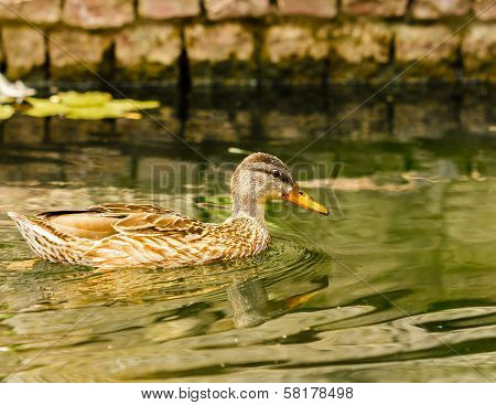 Brown Duck Floating On Calm Water