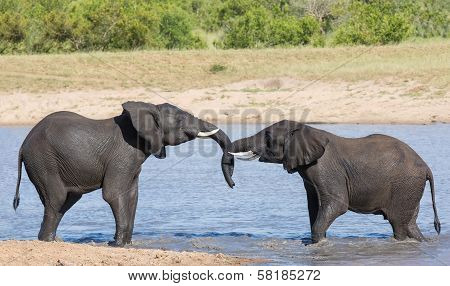 Two Young Elephants Play In Water
