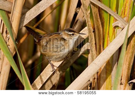 Marsh Wren (cistothorus Palustris)