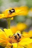 pic of bumble bee  - Bumble bees on false sunflowers or Heliopsis helianthoides in the garden in summer  - JPG