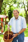 picture of 70-year-old  - Attractive senior man 70 years old picking cherries in his garden - JPG