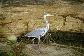 stock photo of long-legged-birds  - Grey heron is characterized by a long neck - JPG