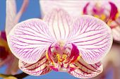 stock photo of orquidea  - A close up of a branch with blossomed pink striped petals of the beautiful flower orchid Phalaenopsis. 